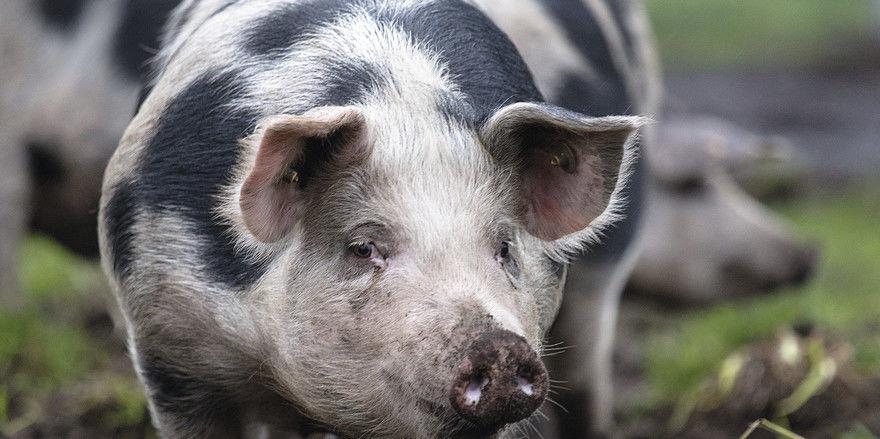 Prachtexemplar: Schweine der Rasse Buntes Bentheimer haben ausgezeichnetes, festes Fleisch mit einem guten Anteil an intramuskulärem Fett. Allerdings ist die Aufzucht relativ anspruchsvoll.
