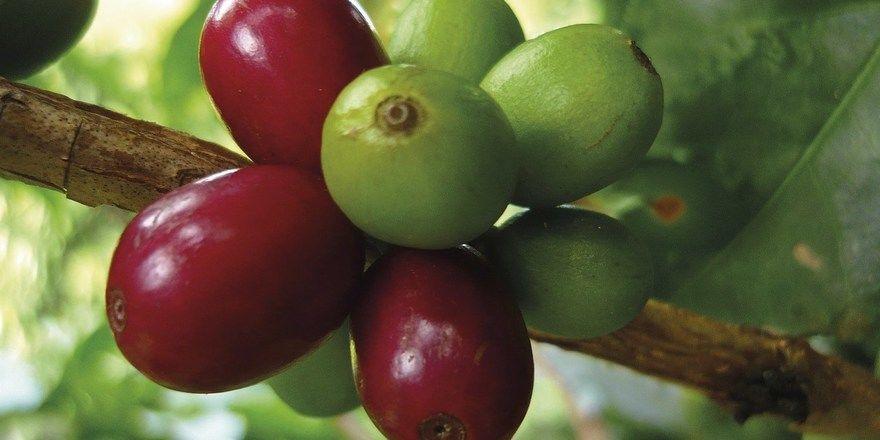 Reif und unreif: Beim Kaffeestrauch treten beide Stadien der sogenannten Kirschen nebeneinander auf.