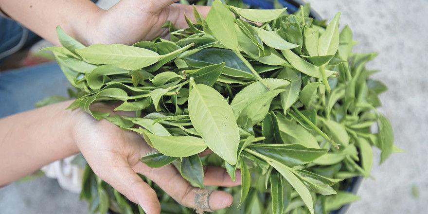 Frisch gepflückt: Die anschließende Verarbeitung der Teeblätter entscheidet über den Geschmack.