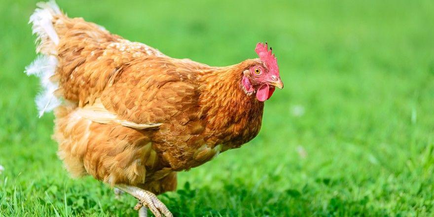 Glückliche Hühner: Das würde sich vermutlich jeder Verbraucher wünschen, doch die Realität sind anders aus