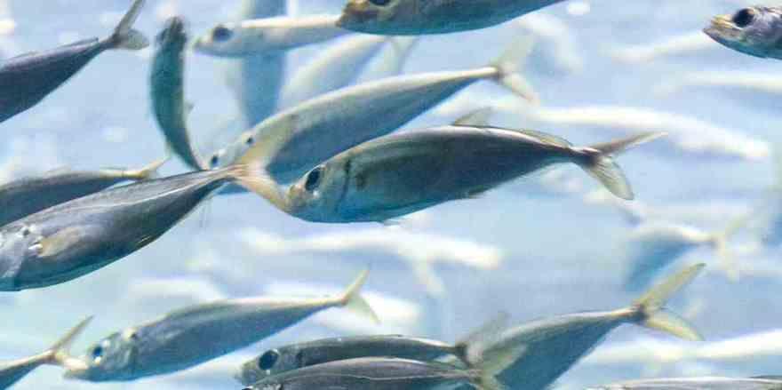 Bedrohte Spezies: Fisch im offenen Meer