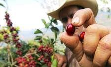 Kaffee aus nachhaltigem Anbau: Riu kooperiert mit der Rainforest Alliance