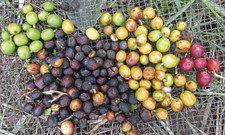 Basis für den Bohnentrank: Kaffeekirschen haben nach der Ernte unterschiedliche Reifegrade.