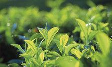 Camellia sinensis: Aus diesem Strauch werden alle Schwarz- und Grüntees hergestellt. Herkunft und Verarbeitung machen den Unterschied.
