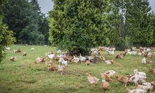 Artgerecht gehalten: Weidehühner in den Voralpen